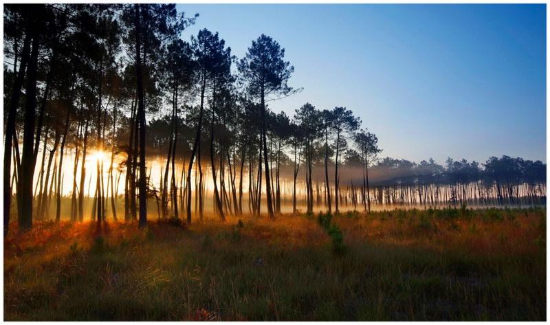 La forêt des Landes (Landes)