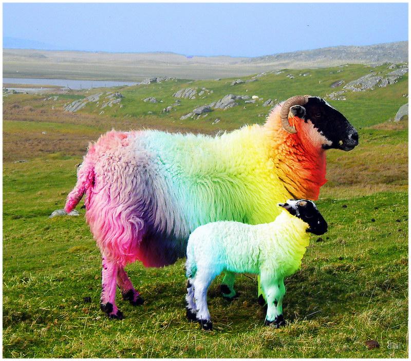 Des moutons de toutes les couleurs en Ecosse