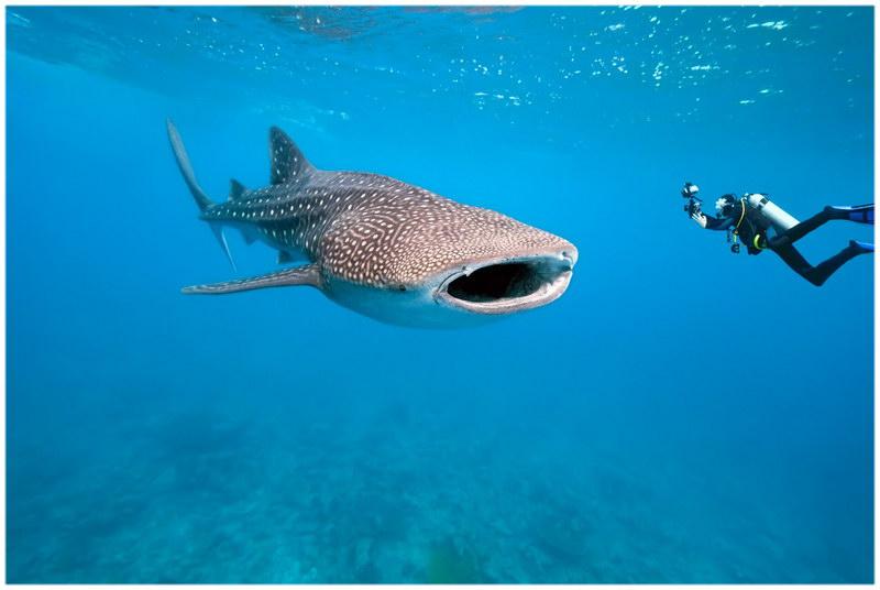 Le requin-baleine, ami des plongeurs