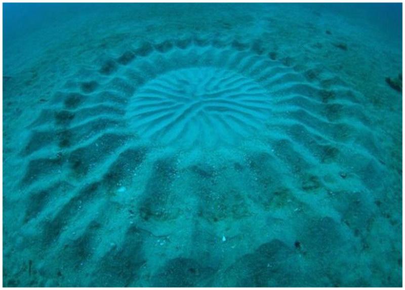 Les dessins sur le sable des poissons-globe au Japon