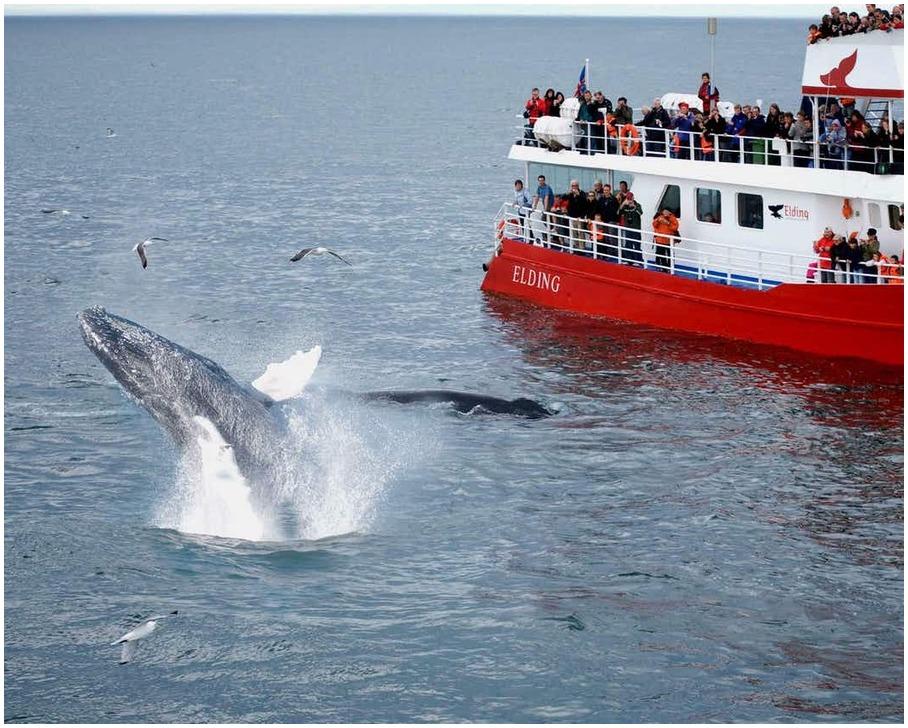 baleines - Iceland
